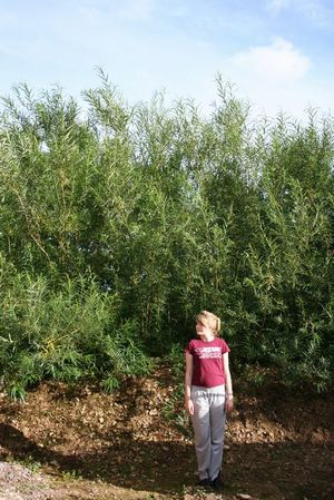 Hybrid Willow 163 0 60 Windbreaks And Shelter Plants Apple