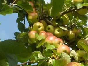bardsey apple tree