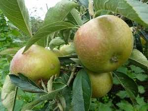 case study of apple fruit